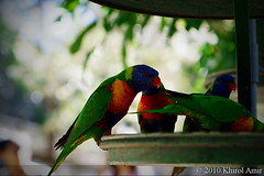 animal, lovebird, macaw, parrot, pet, green, fauna, parakeet, lorikeet, common pet parakeet, beak, bird,