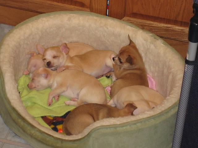 Cute Puppies Sleeping Chihuahua
