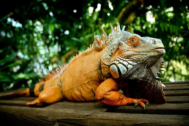 Charro the Iguana!