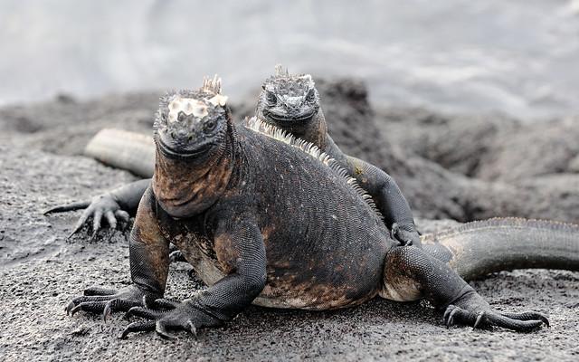 Iguanas marinas en las Islas Galápagos.