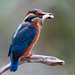 _MG_7900-Alcedo atthis (martin pescador). by vipuchol
