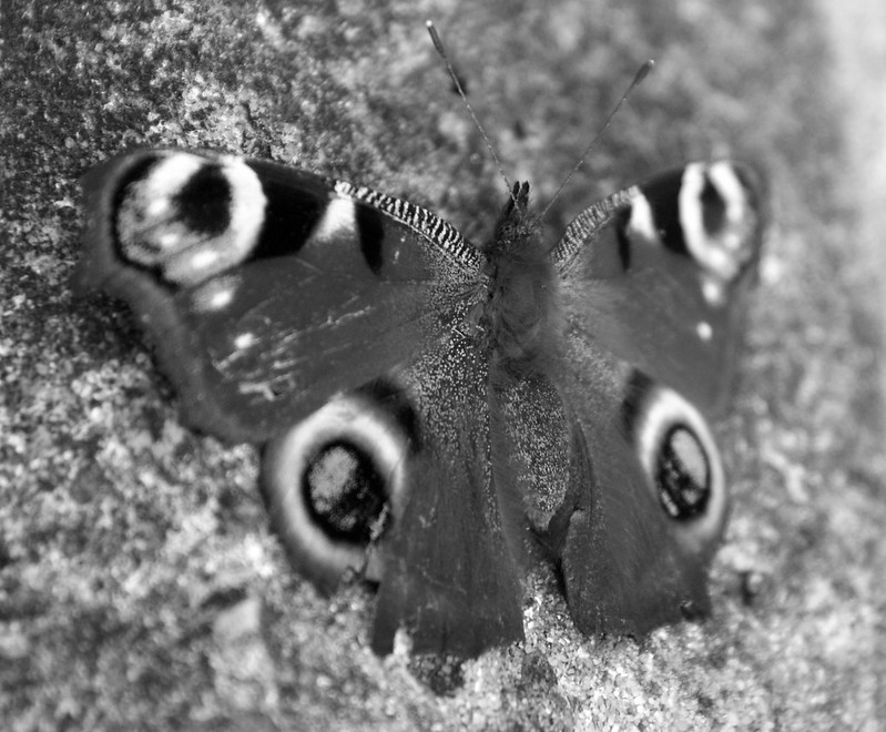 Collector butterfly stories