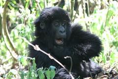 剛果維拉岡國家公園內的年輕大猩猩(照片由Nick Leonard提供)