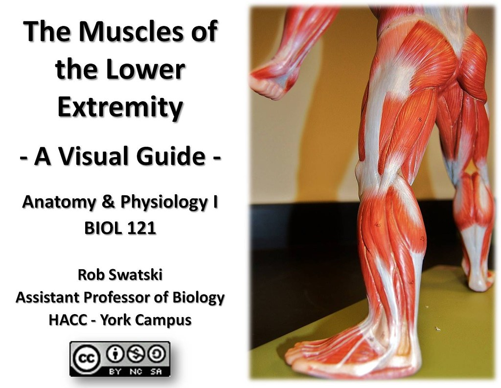 Title Page Muscles Of The Lower Extremity Anatomy Visual Atlas