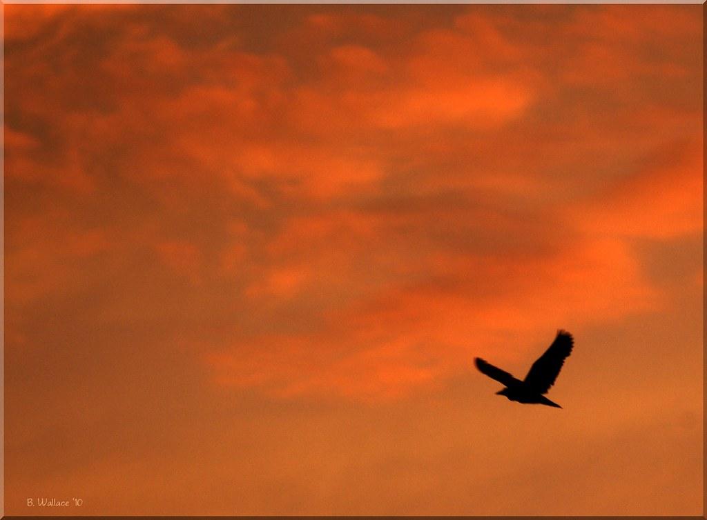 Black Crown Night Heron Silhouette