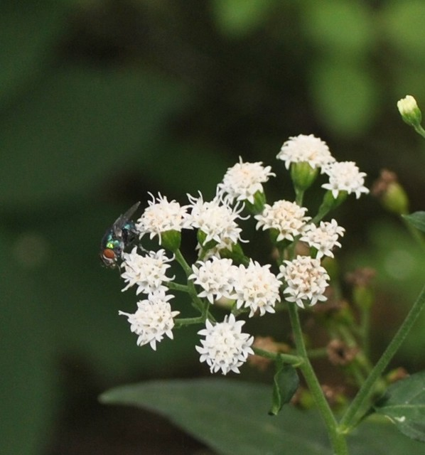 Header of Ageratina Altissima