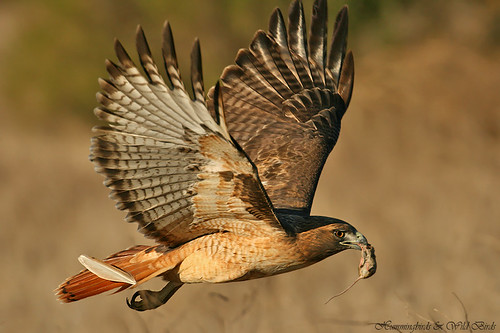 Red-tailed-Hawk-120901