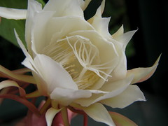 flower, white, plant, macro photography, flora, close-up, epiphyllum oxypetalum, petal,