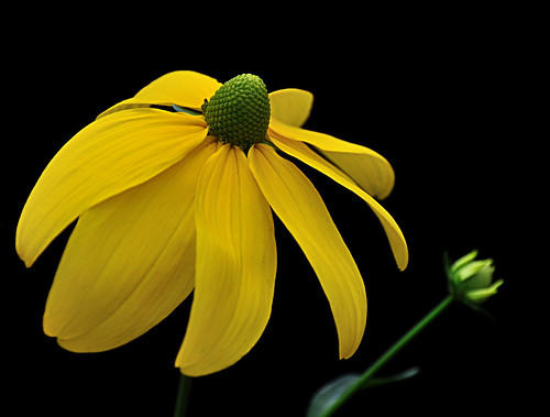 Gele zonnehoed - Green-headed coneflower - Rudbeckia laciniata 'Herbstsonne'