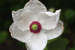 frøken magnolia