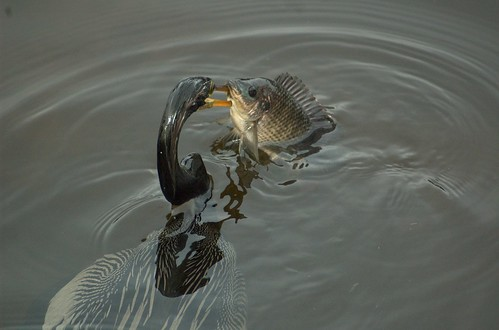 fish bird birds pond wako wetland anhinga wakodahatchee