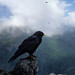 A sentinel Alpine Chough on the lookout