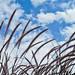248/365 Waving Maiden Grass by Saj13