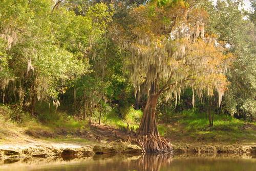 usa tree america river landscape peace florida north northamerica cypress fl