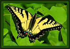 > Tiger Swallowtail <>>