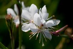 Flower, White Gaura