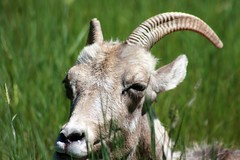 animal, antelope, grass, argali, mammal, horn, barbary sheep, fauna, close-up, meadow, pasture, wildlife,