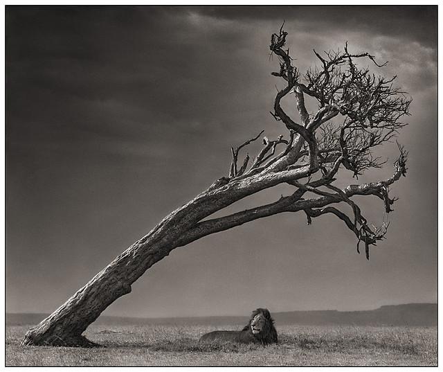 Lion Under Leaning Tree, Massai Mara, by Nick Brandt 2008