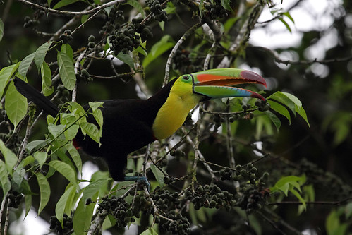 Keel-billed Toucan, La Selva