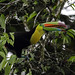 Keel-billed Toucan, La Selva by 65north