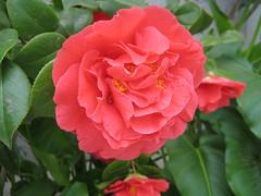 chinese hibiscus(0.0), annual plant(1.0), shrub(1.0), garden roses(1.0), floribunda(1.0), flower(1.0), plant(1.0), camellia japonica(1.0), rosa chinensis(1.0), petal(1.0),