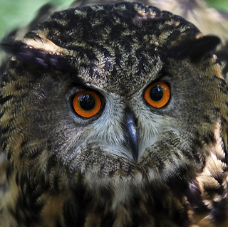 Eagle-owl - Uhu