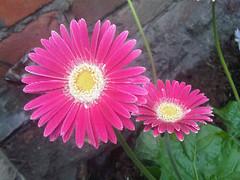 annual plant, flower, plant, gerbera, flora, plant stem, daisy, petal,