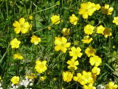 large-flowered evening primrose (0.0), mustard plant(0.0), brassica rapa(0.0), mustard(0.0), rue(0.0), produce(0.0), food(0.0), annual plant(1.0), flower(1.0), yellow(1.0), subshrub(1.0), herb(1.0), wildflower(1.0), common tormentil(1.0),