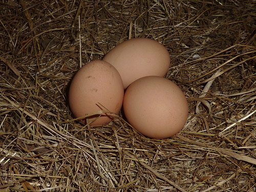 Chicken eggs in nest by brittgow, on Flickr