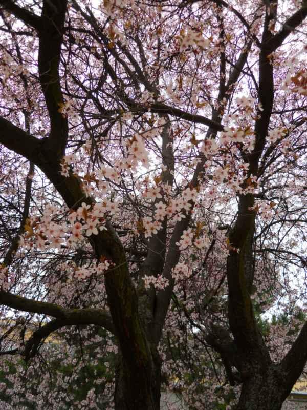 Prunus cerasifera 'Pissardii' v 2