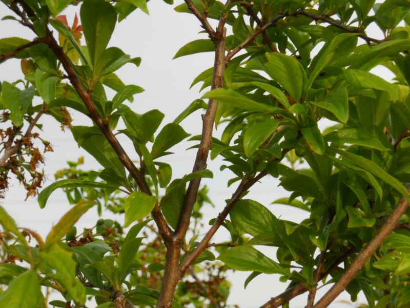 Prunus domestica 'Friar' 1
