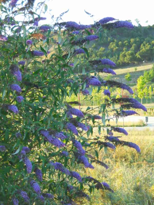 Buddleja davidii 'Empire Blue' v 5
