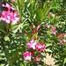 Nerium oleander 'Soleil Levant' 5