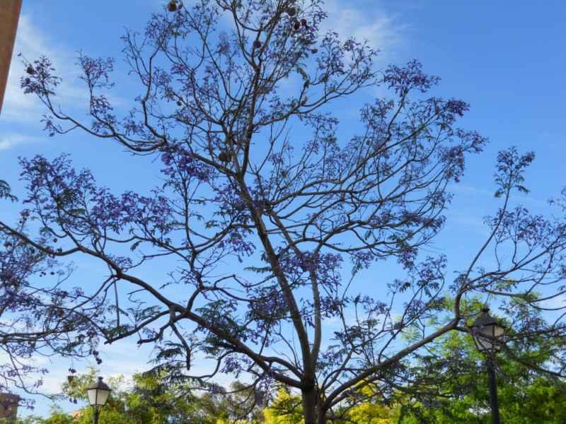 Jacaranda mimosifolia.. copa 1