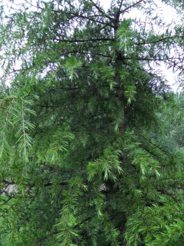 Picea breweriana v 5