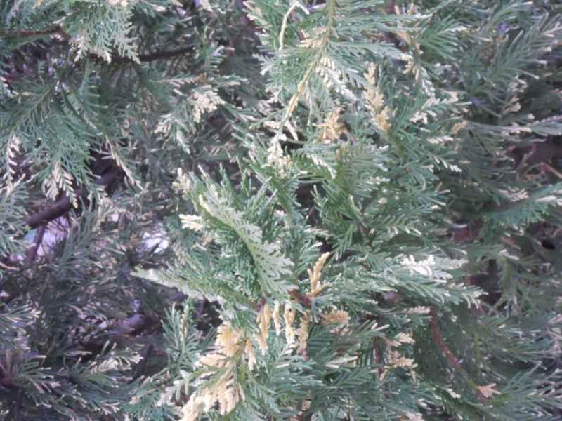 Thuja plicata 'Zebrina'.. detalle 2