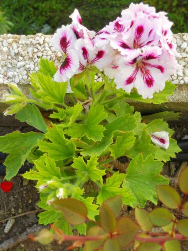 Pelargonium x domesticum v 1