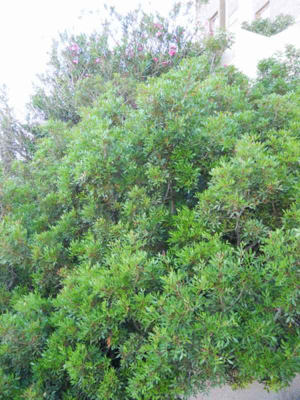 Pistacia lentiscus v 1
