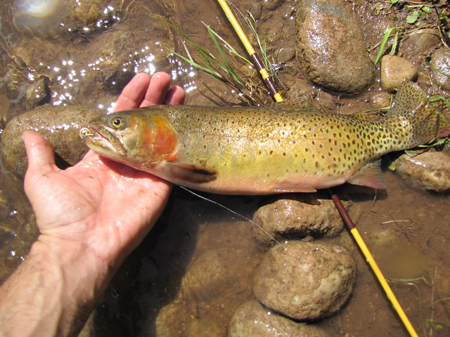 COLORADO RIVER CUTTHROAT TROUT | Flickr - Photo Sharing!