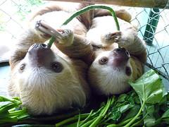 animal, sloth, pet, mammal,
