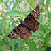 Horace's Duskywing - Photo (c) Katja Schulz, some rights reserved (CC BY-NC)