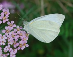 nectar(0.0), colias(0.0), arthropod(1.0), pollinator(1.0), animal(1.0), moths and butterflies(1.0), butterfly(1.0), flower(1.0), wing(1.0), nature(1.0), invertebrate(1.0), macro photography(1.0), flora(1.0), fauna(1.0), cabbage butterfly(1.0), close-up(1.0), petal(1.0),