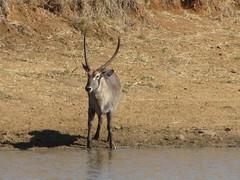 gemsbok(0.0), springbok(0.0), kudu(0.0), pronghorn(0.0), impala(0.0), animal(1.0), antelope(1.0), mammal(1.0), fauna(1.0), oryx(1.0), safari(1.0), gazelle(1.0), wildlife(1.0),