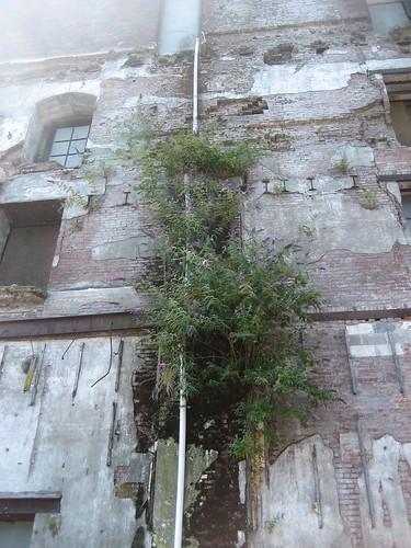A naturally occurring Vertical Garden (buddleia)