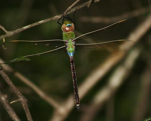 dragonfly tx odonata commongreendarner anaxjunius hardincounty nechesriver