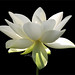 "Flower / White flower / sun / nature / White ""Lotus Flower in the Early Morning Sun""  / green / - IMG_2956 by Bahman Farzad"