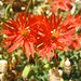 Small photo of caryophyllaceae