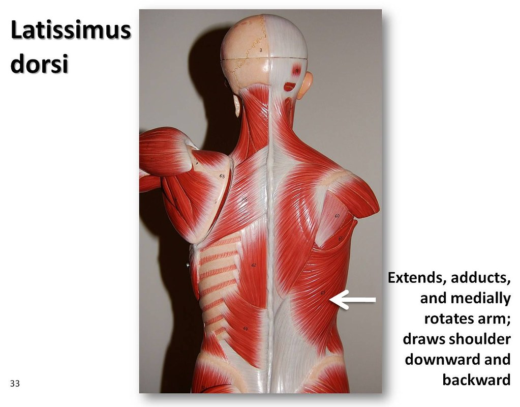 Latissimus dorsi - Muscles of the Upper Extremity Visual ...