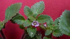 annual plant, flower, leaf, plant, herb, perilla frutescens,