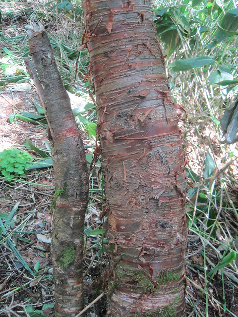 Dake kanba (岳樺, 'mountain-peak birch', Betula ermanii) bark, Mt. Hotaka, Gifu-ken